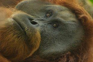orangutan tapanuli spesies terbaru Indonesia sumatera metro banten