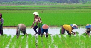 Petani Lebak Laksanakan Percepatan Tanam Tanam di Tengah Pandemi