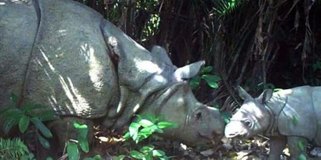 Dua Anak Badak Jawa Lahir di Taman Nasional Ujung Kulon