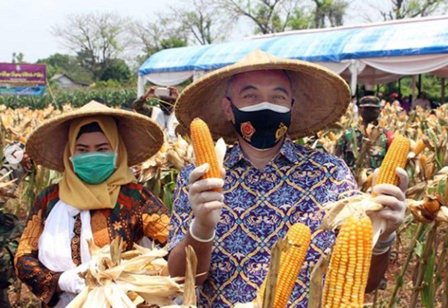 Bupati Zaki Panen Raya Jagung Hibrida di Desa Badak Anom Sindang Jaya