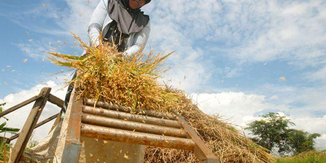 Pemprov Banten Segera Bangun Pusat Penggilingan Padi Bernilai Rp.40 Miliar