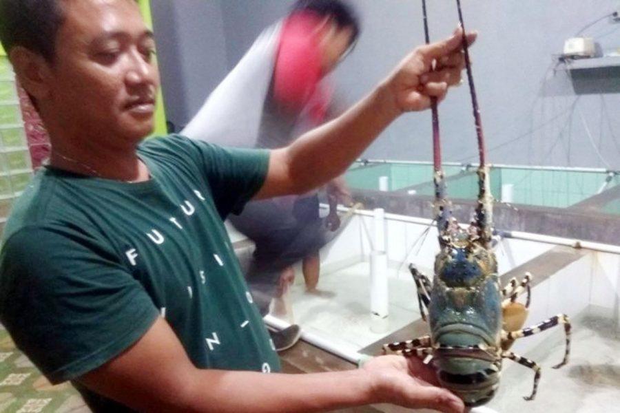 Nelayan Lebak Selatan Raup Keuntungan Dari Panen Lobster