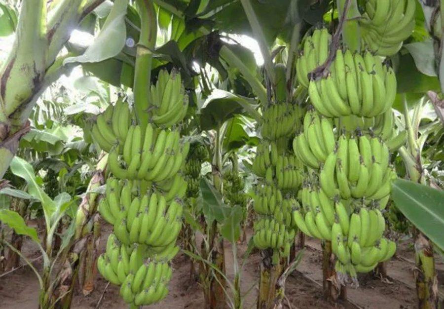 Petani Lebak Kembangkan Budidaya Pisang Dalam Meningkatkan Pendapatan