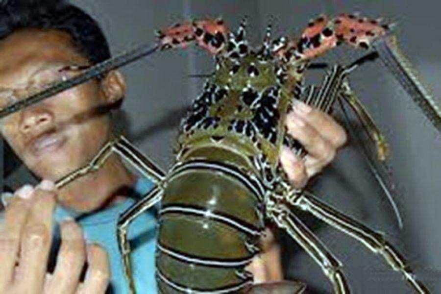 Lobster Berpotensi Jadi Andalan Penghasil Ekonomi Pesisir Selatan Lebak