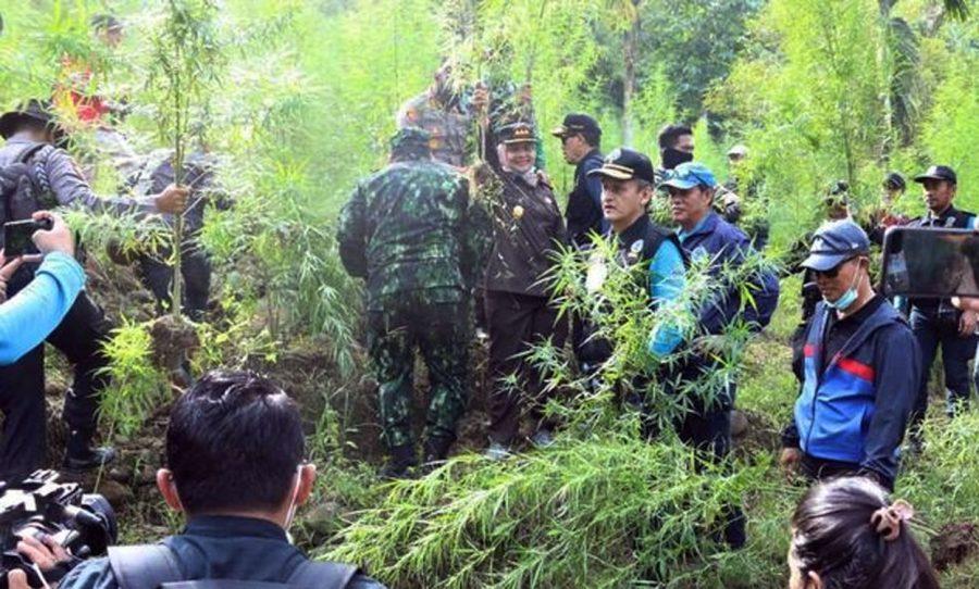 BNN Musnahkan 9 Hektare Ladang Ganja di Pedalaman Aceh Utara
